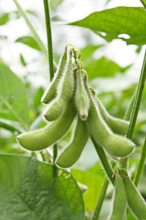 green bean: close up of the soy bean plant in the field  Stock Photo