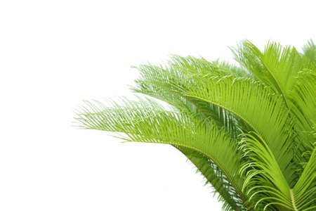 leaves of  cycas  tree isolated on white background photo