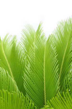 cycas: leaves of  cycas  tree isolated on white background Stock Photo
