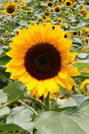 subtlety: close up of yellow sunflower in the field, agriculture subject  Stock Photo