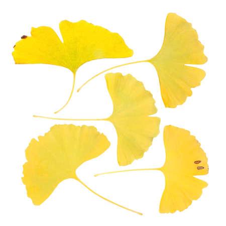 ginkgo leaf: yellow leaf of ginkgo biloba with white background Stock Photo