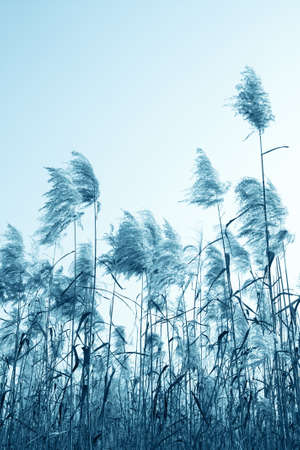 fluffy tuft: the reeds under the sky in winter,blue tone