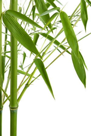 bamboo isolated on white photo