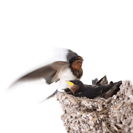 fatten: swallow nest with hungry nestlings,and feeding a flying swallow