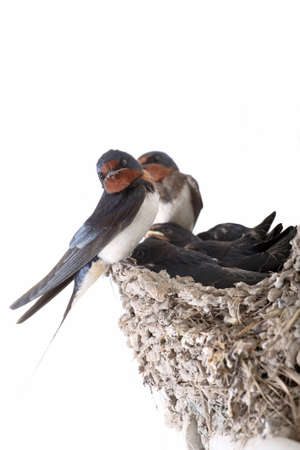 swallow family in the clay nests photo