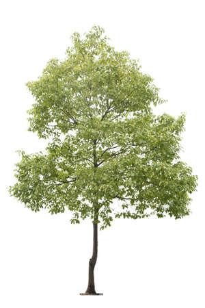 pequeño árbol aislado en blanco