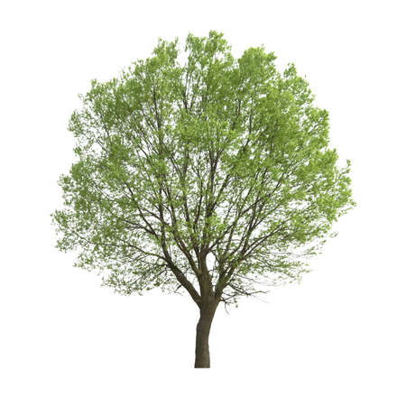 canopy: poplar tree isolated on white Stock Photo