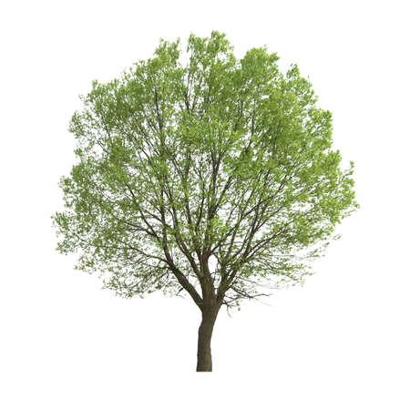 árbol de Álamo aislado en blanco
