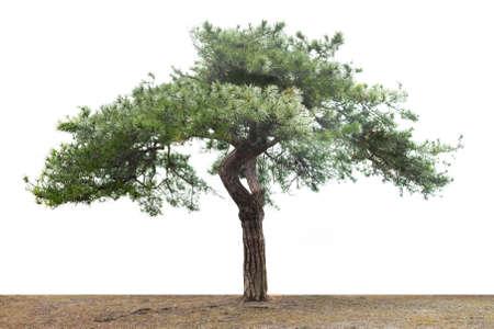 branche pin: un pin isol� sur fond blanc Banque d'images