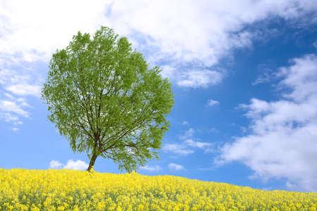 green poplar tree and yellow rape field in spring