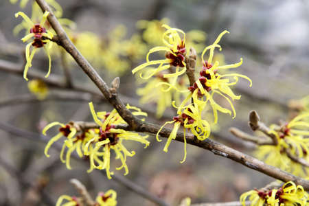 witch hazel in full bloom in february   photo
