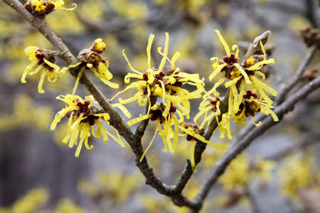 hazel branches: hamamelis flower in full bloom in february