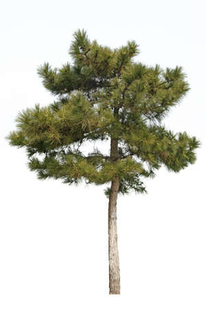 small pine tree isolated on white photo