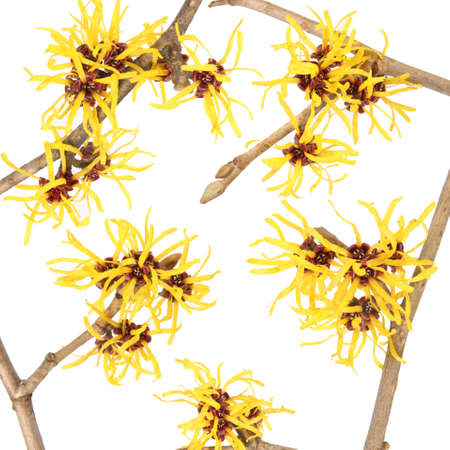 hazel branches: close up of the hamamelis flower