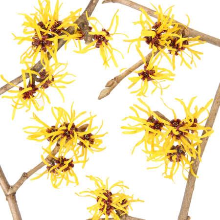 hamamelis: close up of the hamamelis flower