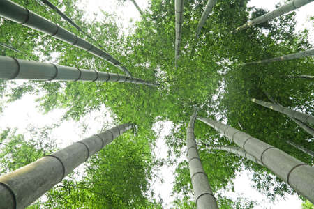 background of  green bamboo forest photo