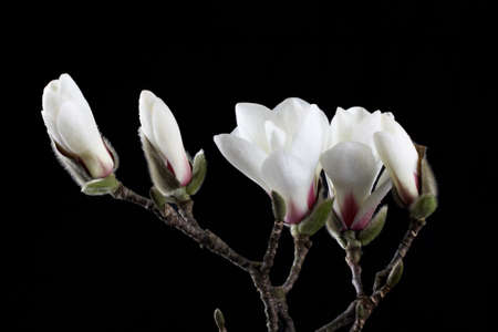 magnolia flower: white magnolia flower with black  background Stock Photo