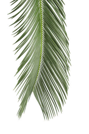 cycadaceae: palm leaf  isolated on white