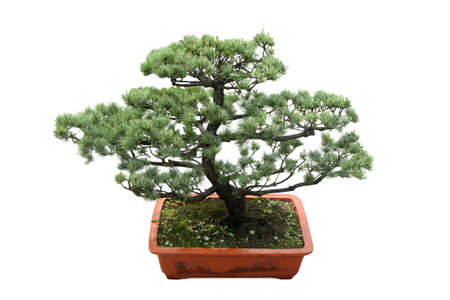 bonsai tree isolated on white,miniature pine photo