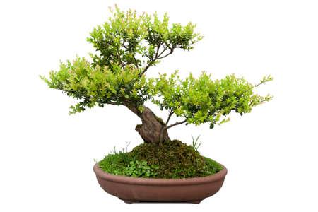セラミック鍋にニレの緑の bonsai の木