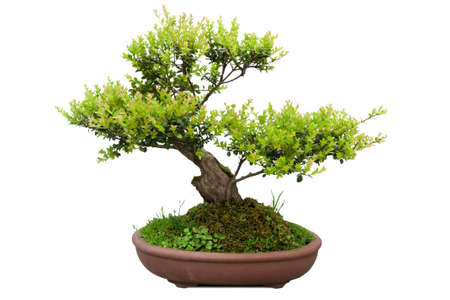 cypress: green bonsai tree of elm in a ceramic pot