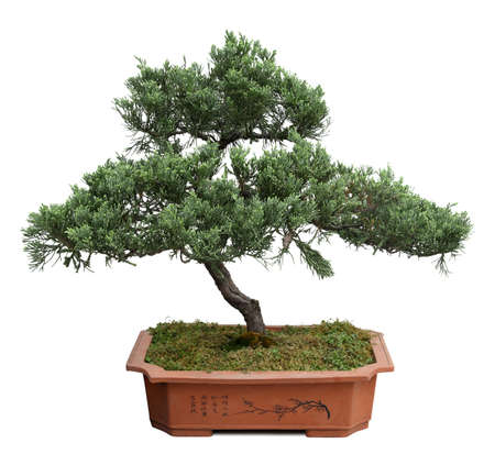 bonsai tree: bonsai tree of  pine  in a ceramic pot  isolated on white