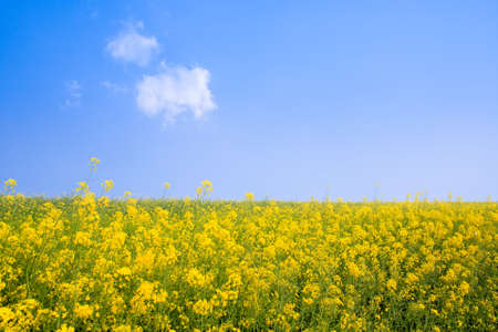 rapeseed field in bloom under blue sky Stock Photo - 9345249