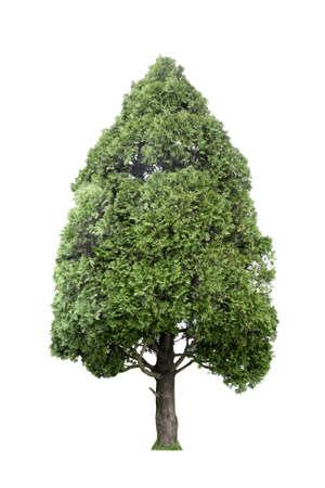 arborvitae:  oriental arborvitae or japan cypress