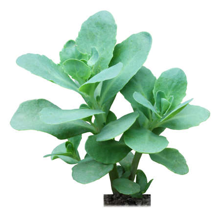 pseudo-ginseng or radix notoginseng with white background photo