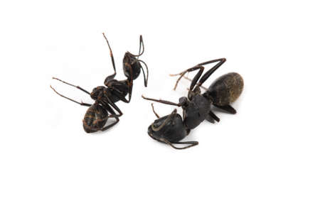 formicidae: two dead  ant on a white background