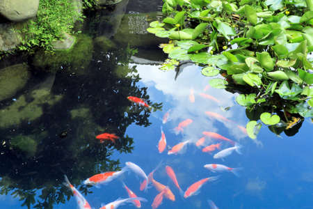 beautiful koi in the pond on traditional garden photo