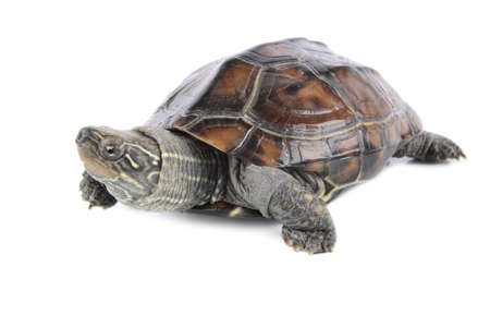 carapace:  tropical tortoise with white background