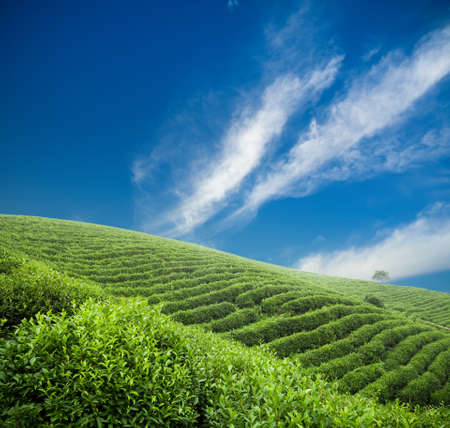 tea plantation under the blue sky photo