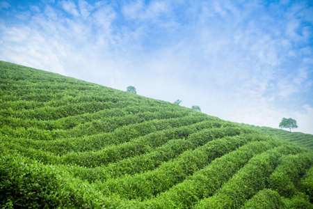 tea plantation,beautiful natural environment photo