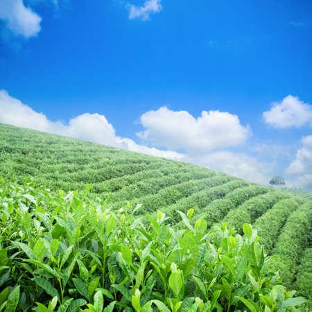 tree plantation: green tea plantation with blue sky background Stock Photo
