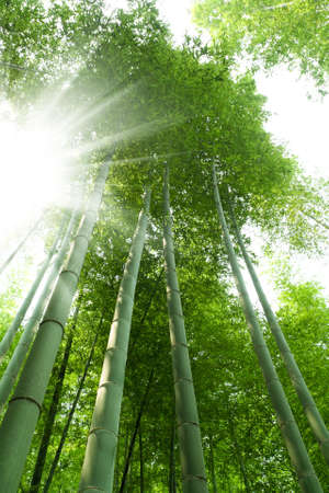 bamboo forest with bright sunlight photo