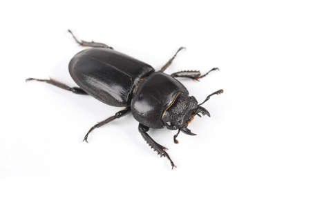 ground beetle with white background Stock Photo