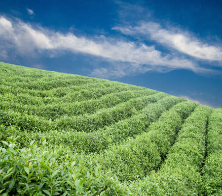 green tea plantation at the hillside under blue sky  photo