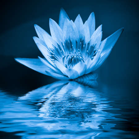 blue lotus in the water photo