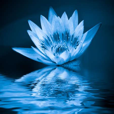 flores chinas: loto azul en el agua