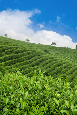 tea plantation against the blue sky photo