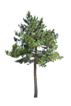 coniferous tree: pine tree with white background