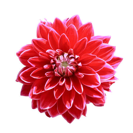 dahlia flower: red dahlia flower isolated on white