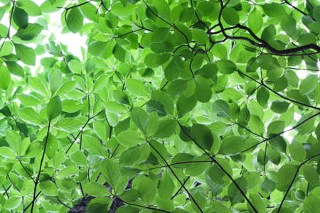 tree canopy: green leaves  background at early summer