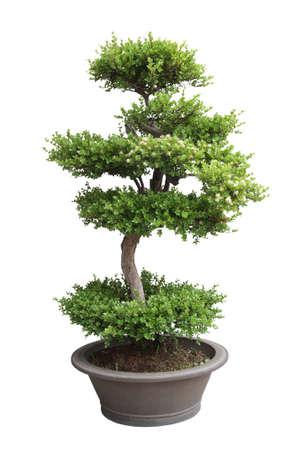 elm: bonsai tree isolated on white,miniature elm tree