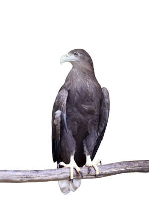 predatory: sea eagle standing on a branch with white background Stock Photo