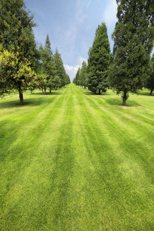 rows of cypress and pine trees on a green lawn  photo