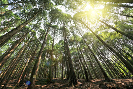 tall cedar trees with sunshine in the forest photo
