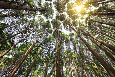 tall cedar trees in the forest photo
