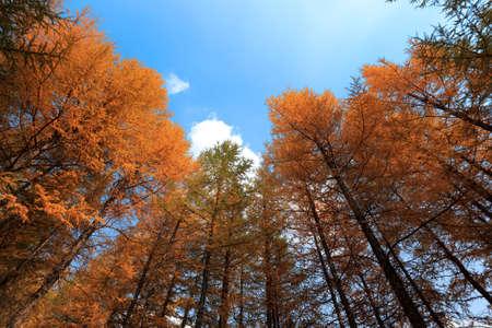 a cedar: mirar hacia arriba de los árboles y el cielo en otoño